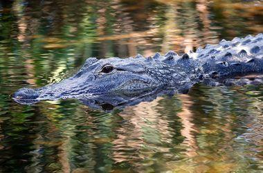 Аллигатор, утащивший мальчика в озеро в Орландо, пойман и усыплен