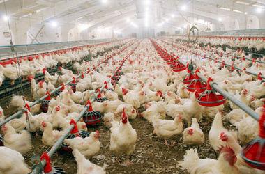 На Львовской птицефабрике в пожаре погибли 20 тысяч птиц