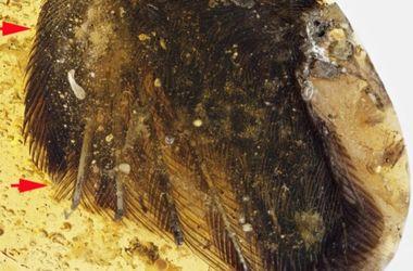 В янтаре нашли птичьи крылья эпохи динозавров