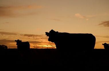 В Техасе молния убила 19 коров